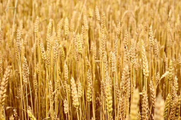 Ble-How-To-Say-Wheat-In-French