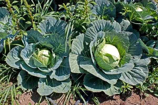 Cabbage, Cavolo In Italian