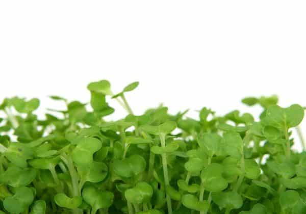 Crescione, How To Say Watercress In Italian
