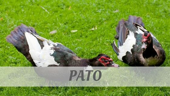 How To Say Pato?