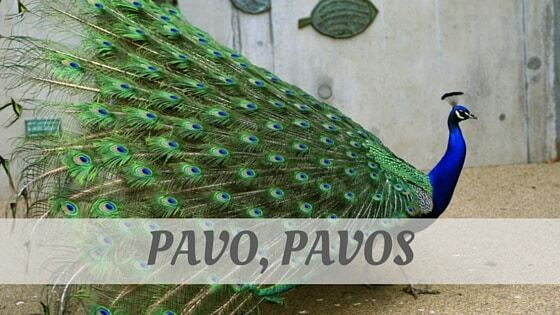 How Do You Pronounce Pavo, Pavos?