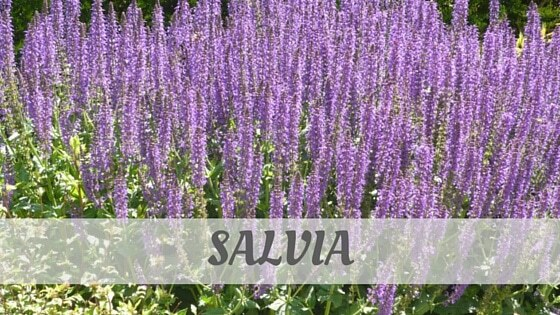 How To Say Salvia
