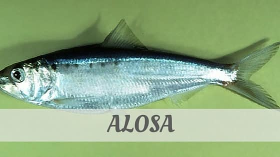 How To Say Alosa