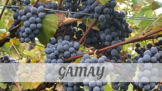 How Do You Pronounce How To Say Gamay?