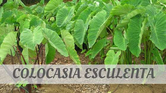 How To Say Colocasia Esculenta