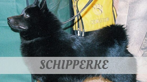 How To Say Schipperke
