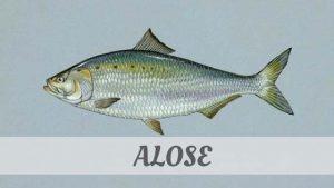 Alose